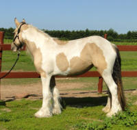 Feathered Gold Orianna, 2012 Gypsy Vanner Horse mare