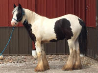 Dilly Silver Star, 2015 Gypsy Vanner Horse gelding