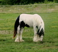 King's Oz, 2006 Gypsy Vanner Horse colt