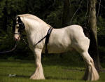 Biker Conners, imported 2001 Gypsy Vanner Horse stallion