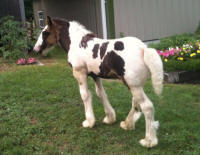 GHGV Pageing Mr. Bikers, 2010 Gypsy Vanner Horse colt