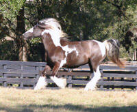 Papuza, imported Gypsy Vanner Horse mare