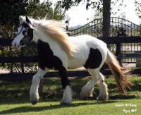GG Party Girl, 2006 Gypsy Vanner Horse mare