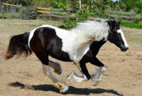 HH Pascha Rose, 2015 Gypsy Vanner Horse filly