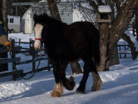 Passion, 2009 Gypsy Vanner Horse colt