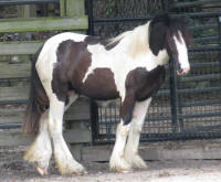 GG Queen of Hearts, 2014 Gypsy Vanner Horse filly