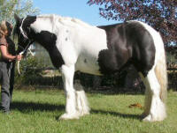 Peggy, imported Gypsy Vanner Horse mare