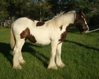 KF Peggy Jeanne of Archer, 2008 Gypsy Vanner Horse filly
