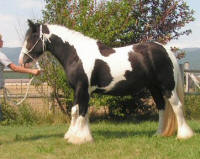 Penny, imported Gypsy Vanner Horse mare