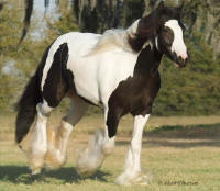 WR Rose Petal, 2005 Gypsy Vanner Horse mare