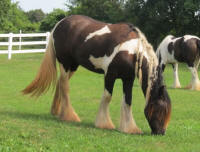 VV Pirouette, 2010 Gypsy Vanner Horse filly