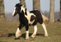 WCF The Pirate King, 2009 Gypsy Vanner Horse colt