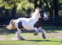 WR  Pizzaz, 2013 Gypsy Vanner Horse colt