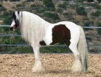 Clononeen Playboy, 2005 imported Gypsy Vanner Horse stallion