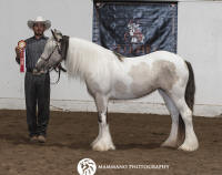 TD Plume Goddess by Taskin, 2016 Gypsy Vanner Horse filly