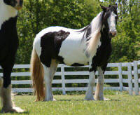 Poppins, 2004 imported Gypsy Vanner Horse mare
