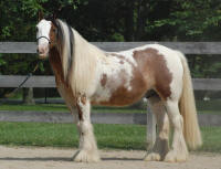 Price Almighty, 2007 imported Gypsy Vanner Horse gelding