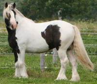 Prince Charming of Mystical Meadows, 2006 Gypsy Vanner Horse colt