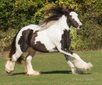 Princess Ishaya, 2010 Gypsy Vanner Horse filly