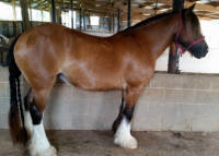 Lexlin's Promise, 2010 Gypsy Vanner Horse filly