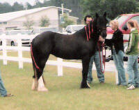 Puddin, 2004 Gypsy Vanner Horse mare
