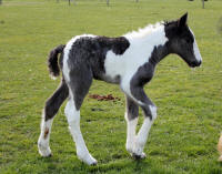 GRS Queen of Hearts, 2015 Gypsy Vanner Horse filly