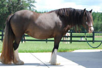 Gypsy Elite Quintessa N'Co, 2009 Gypsy Vanner Horse mare