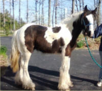 Feathered Gold Rajah, 2008 Gypsy Vanner Horse colt