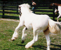 Rawnie, Gypsy Vanner Horse filly
