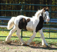 N'Co Mr Bikers Read All About It, 2010 Gypsy Vanner Horse colt