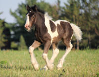 Red Barn's I've Got Tallant, 2018 Gypsy Vanner Horse colt