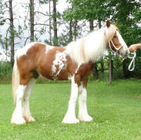 Feathered Gold Red Velvet, 2009 Gypsy Vanner Horse filly