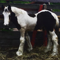 HH Chloe's Renegade, 2016 Gypsy Vanner Horse colt