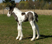 Feathered Gold Legendary Rendition, 2012 Gypsy Vanner Horse colt