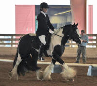 The King's Rendition, 2011 Gypsy Vanner Horse stallion