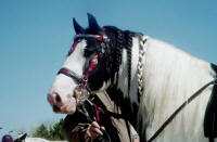Road Sweeper, imported Gypsy Vanner Horse stallion at Equine Affaire Ohio in 2003