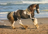 GG The Road Warrior, 2011 Gypsy Vanner Horse colt