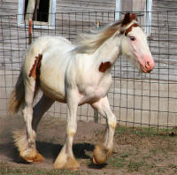 RR Rocket's Red Glare, 2007 Gypsy Vanner Horse colt