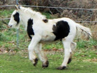 Roma colt, 2015 Gypsy Vanner Horse foal
