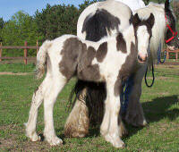 Romantic Legend, 2006 Gypsy Vanner Horse colt
