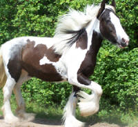 Feathered Gold Romantic Legend, 2006 Gypsy Vanner Horse colt