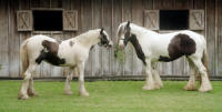 Gypsy Gold's Rose, 1998 imported Gypsy Vanner Horse mare