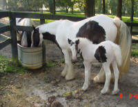 Rose and Rose Petal, Gypsy Vanner Horse mare and filly