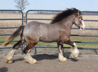 KD's Buck Neigh Kid, 2009 Gypsy Vanner Horse colt