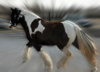 CGR Roxie, 2007 Gypsy Vanner Horse filly
