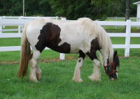 Royle Princess, imported Gypsy Vanner Horse mare