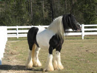 BHGV SD Laddie, imported Gypsy Vanner Horse stallion