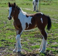 SFGH Whispering Meadows Sudden Aurora, 2016 Gypsy Vanner Horse filly