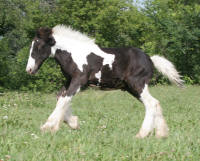 Lake Ridge So British, 2009 Gypsy Vanner Horse colt