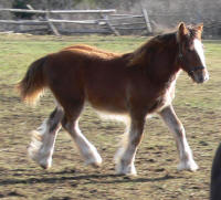 SRS Harmony, 2012 Gypsy Vanner Horse filly